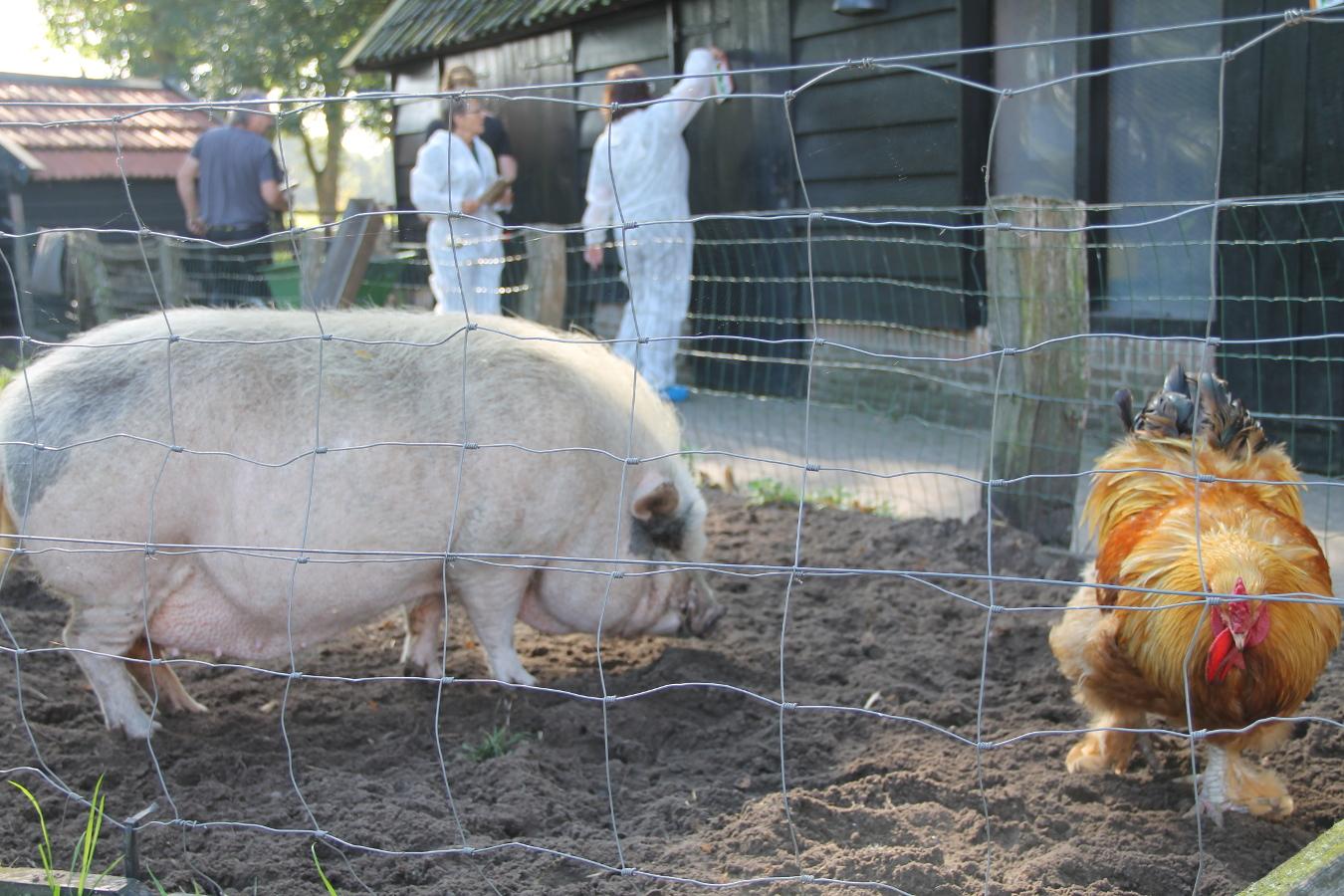 Een prachtige haan en varken op Landgoed de Zwiese, op de achtergrond wordt druk geschilderd